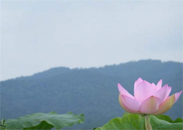 レンコン畑2.JPG