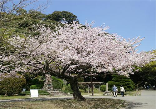 徳島公園桜.JPG