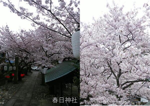 春日神社の桜.JPG