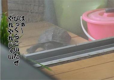 亀じいの挑戦3.JPG
